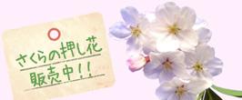 桜前線がいよいよ日本列島到来です。春のハンドメイドには、桜の押し花は欠かせない素材ですよね!しもでではさくらの花びらの押し花素材、絶賛販売中です!!